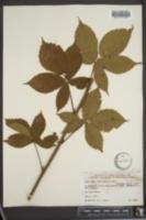 Image of Rubus fryei
