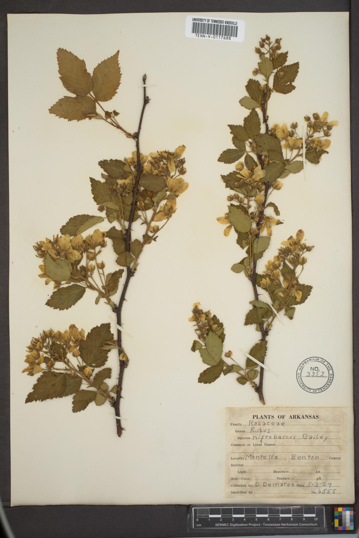 Rubus nigricans image