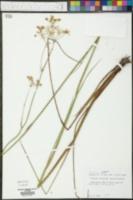 Oxypolis filiformis image