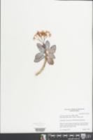 Crassula arborescens image