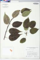 Image of Pyrus serrulata