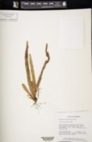 Image of Oreogrammitis reinwardtioides