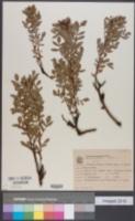 Image of Schinus weinmannifolius