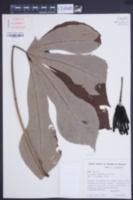 Image of Cecropia concolor
