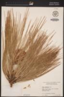 Pinus roxburghii image