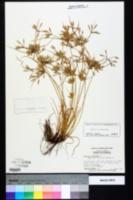 Cyperus compressus image