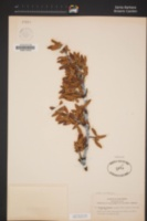 Cercocarpus ledifolius var. intermontanus image