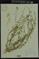 Image of Lesquerella lindheimeri