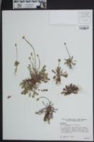 Krigia dandelion image