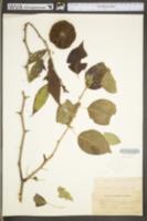 Maclura pomifera image