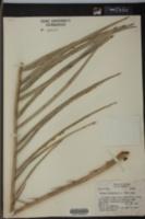 Phoenix dactylifera image