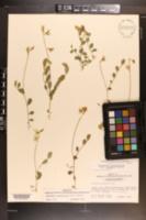 Crotalaria rotundifolia image