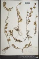 Image of Salix arctolitoralis