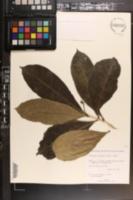 Image of Enallagma latifolia