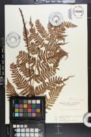 Dryopteris erythrosora image