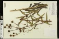 Image of Helianthus verticillatus