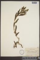 Image of Heliotropium anchusifolium