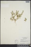 Image of Euphorbia cordata