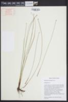 Eleocharis tricostata image