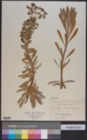 Image of Euphorbia wulfenii