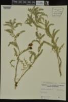 Astragalus crassicarpus image