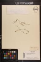 Houstonia serpyllifolia image