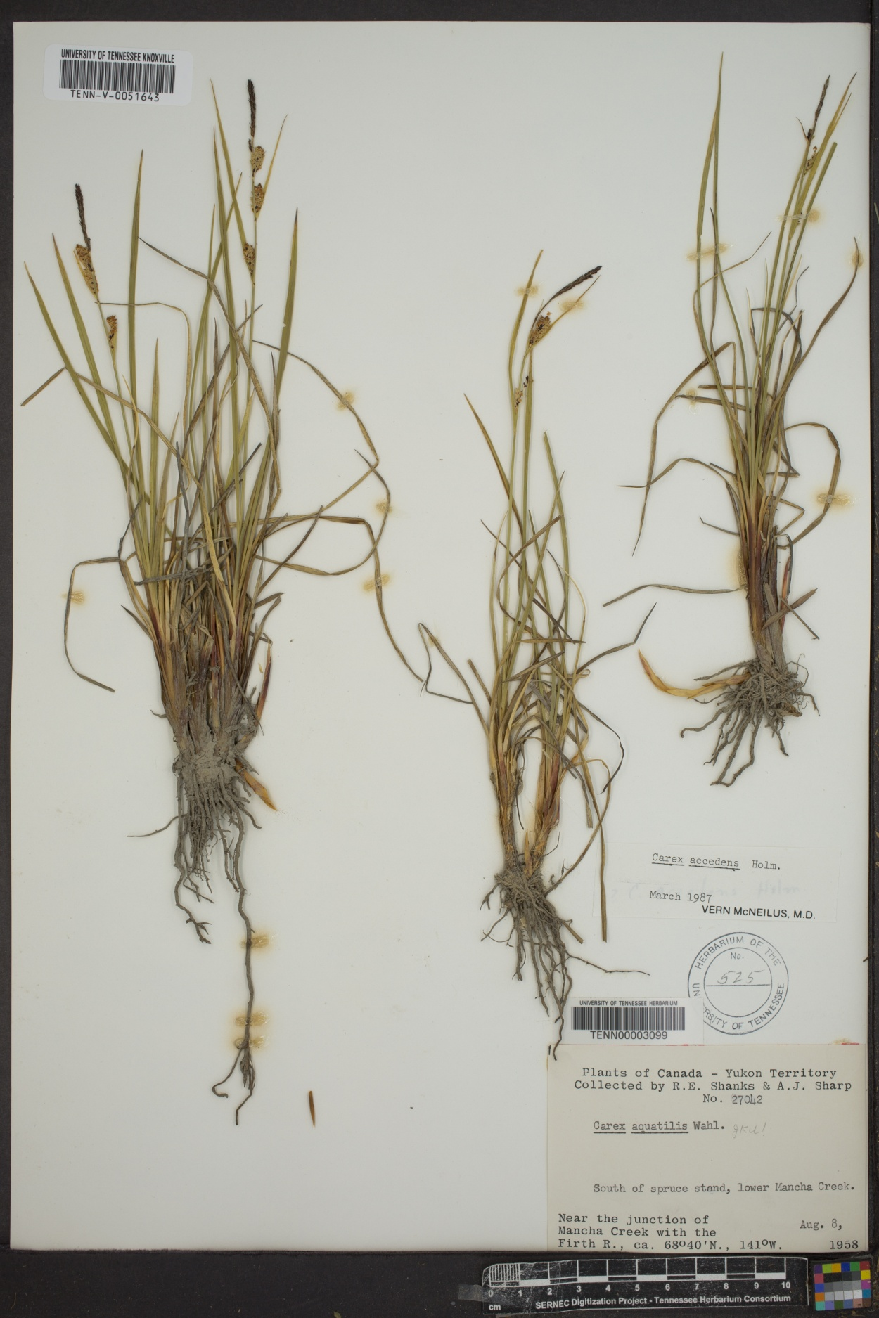 Carex accedens image