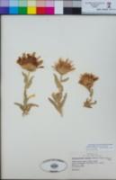 Xylorhiza orcuttii image