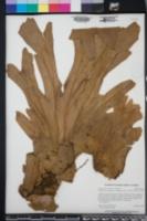 Platycerium bifurcatum image