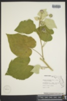 Image of Abutilon hulseanum