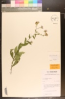 Image of Symphyotrichum rhiannon