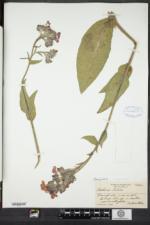 Anchusa azurea image