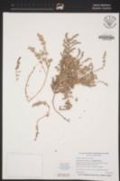 Atriplex watsonii image
