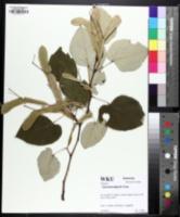 Image of Tilia heterophylla