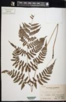 Image of Athyrium banajaoense