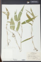 Panicum latifolium image