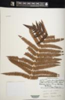 Cibotium splendens image