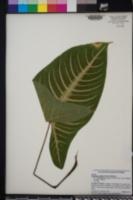 Image of Caladium lindenii