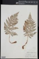 Dryopteris dilatata image