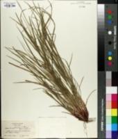Carex amphibola image