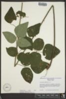 Desmodium viridiflorum image