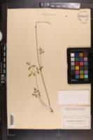 Image of Angelica dentata