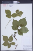 Image of Rubus calvus