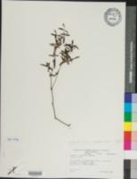 Houstonia longifolia var. glabra image