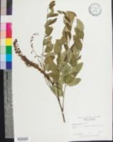 Amorpha glabra image
