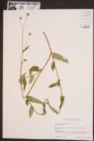 Polygonum sagittatum image