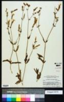 Image of Lychnis striata