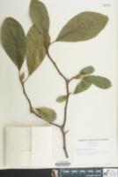 Image of Magnolia sieboldii