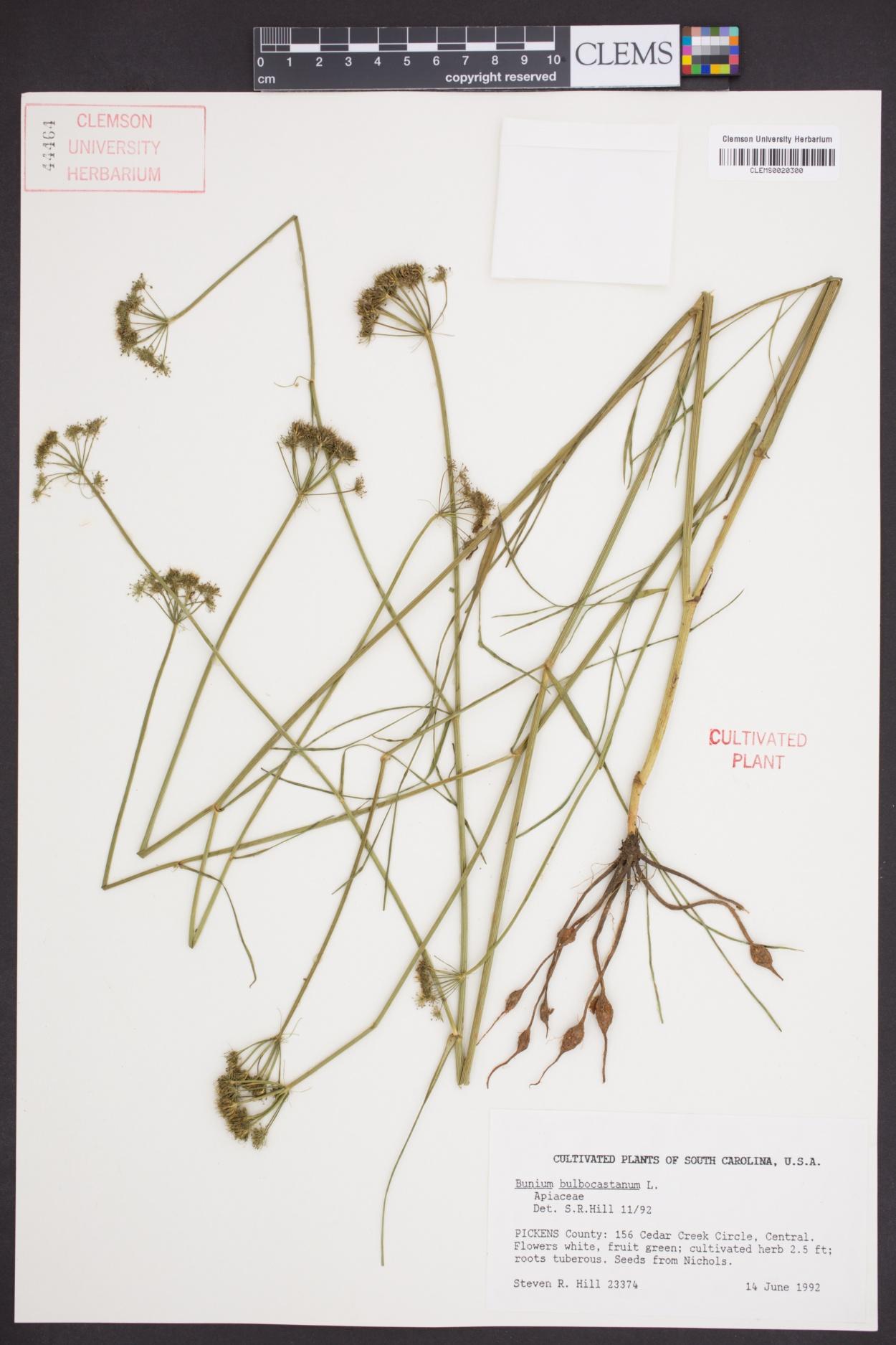 Bunium bulbocastanum image