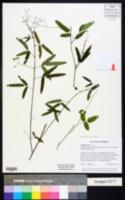 Desmodium paniculatum var. paniculatum image